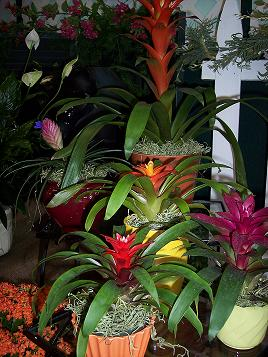 Bromeliad Grouping in Mount Vernon OH, Williams Flower Shop
