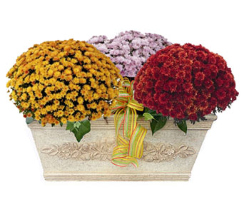 Luxury Collection Mum Garden in Norristown PA, Plaza Flowers