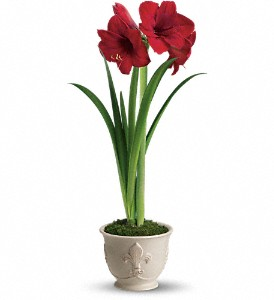 Teleflora's Merry Amaryllis in Lewiston ME, Val's Flower Boutique, Inc.