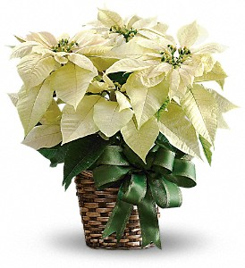 White Poinsettia in Pleasanton CA, Bloomies On Main LLC
