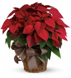 Large Red Poinsettia in East Providence RI, Carousel of Flowers & Gifts