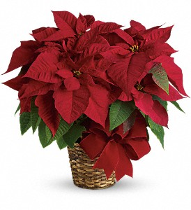 Red Poinsettia in Dorchester MA, Lopez The Florist