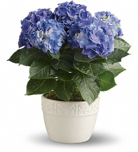 Happy Hydrangea - Blue in Jersey City NJ, A.J. Barrington's Flowers