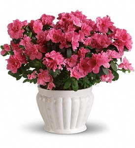 Pretty in Pink Azalea in Norwich NY, Pires Flower Basket, Inc.
