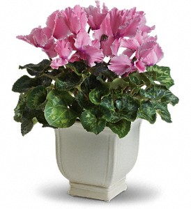 Sunny Cyclamen in Bluffton IN, Posy Pot