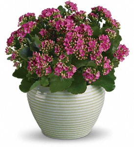 Bountiful Kalanchoe in Mount Morris MI, June's Floral Company & Fruit Bouquets