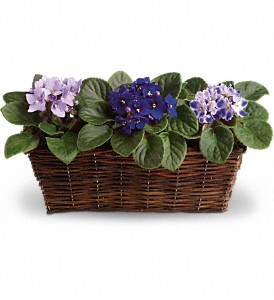 Sweet Violet Trio in Stratford CT, Phyl's Flowers & Fruit Baskets