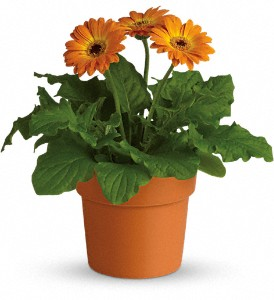 Rainbow Rays Potted Gerbera - Orange in Wendell NC, Designs By Mike