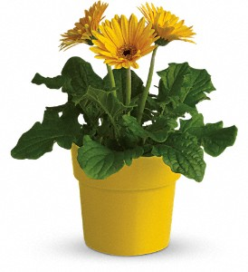 Rainbow Rays Potted Gerbera - Yellow in Fayetteville AR, The Showcase Florist, Inc.