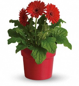 Rainbow Rays Potted Gerbera - Red in River Falls WI, Bo Jons Flowers And Gifts