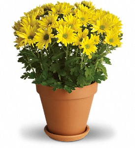 Sweet as a Daisy in Bluffton IN, Posy Pot