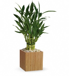Teleflora's Good Luck Bamboo in flower shops MD, Flowers on Base