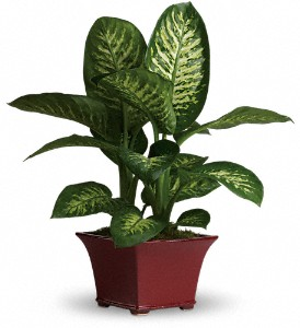 Delightful Dieffenbachia in Mount Morris MI, June's Floral Company & Fruit Bouquets