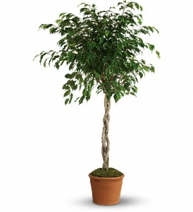 Towering Ficus in Orangeville ON, Orangeville Flowers & Greenhouses Ltd