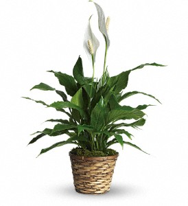 Simply Elegant Spathiphyllum - Small in East Quogue NY, Roses And Rice