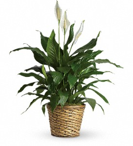 Simply Elegant Spathiphyllum - Medium in New Iberia LA, Breaux's Flowers & Video Productions, Inc.