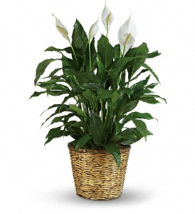 Simply Elegant Spathiphyllum - Large in Cocoa FL, A Basket Of Love Florist