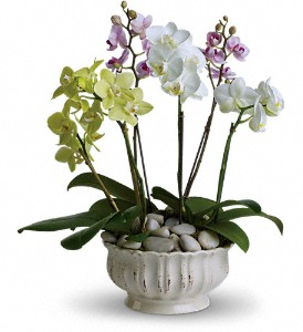 Regal Orchids in Northport NY, The Flower Basket