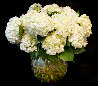 All Hydrangea in Darien CT, Nielsen's Florist And Garden Shop