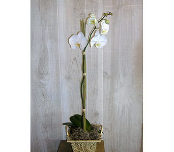Orchid Plant in Dallas TX, Petals & Stems Florist