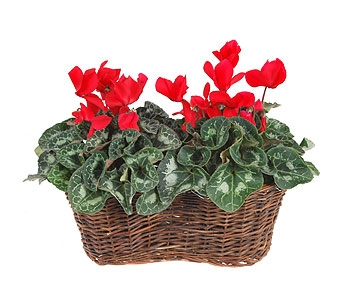 Double Cyclamen Basket in Madison WI, Felly's Flowers