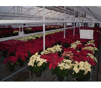 THE POINSETTIA GREENHOUSE in Hanover PA, Country Manor Florist