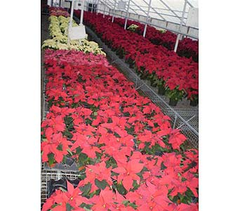 BEAUTIFUL POINSETTIAS in Hanover PA, Country Manor Florist