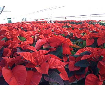 BEAUTIFUL  POINSETTIA  GREENHOUSE in Hanover PA, Country Manor Florist