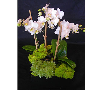Phalaenopsis Orchids in Los Angeles CA, Dave's Flowers