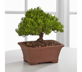 Juniper Bonsai in Birmingham AL, Norton's Florist