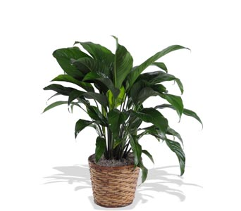 Classic Peace Lily � Spathiphyllum in St. Louis MO, Walter Knoll Florist