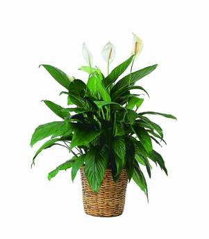 Floor Sized Spathiphyllum In Basket in Cohasset MA, ExoticFlowers.biz