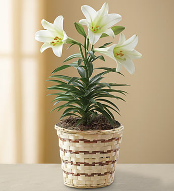 Easter Lilly in Indianapolis IN, George Thomas Florist