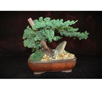 Bonsai Juniper in Northfield MN, Forget-Me-Not Florist