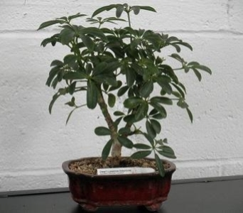 Dwarf Luseanne Arboricola Bonsai in Chicago IL, Marcel Florist Inc.