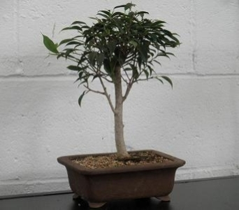Willow Ficus Bonsai in Chicago IL, Marcel Florist Inc.