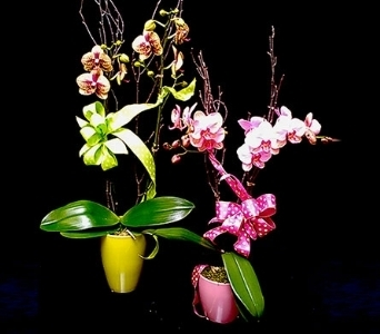 Mini Phalaenopsis Orchids in La Jolla CA, Adelaide's Florists and Decorators