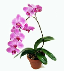 Peter's Pick: Exquisite Orchid Plant in North Adams MA, Mount Williams Greenhouses, Inc.