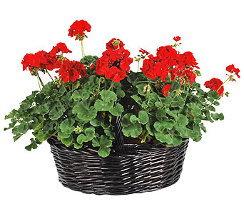 Geranium Patio Basket in Madison WI, Felly's Flowers