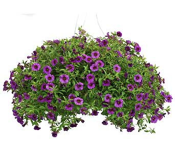 Petunia 12 Hanging Basket in Madison WI, Felly's Flowers