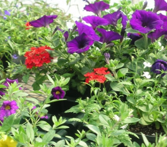 Annuals in Gardner MA, Valley Florist, Greenhouse & Gift Shop
