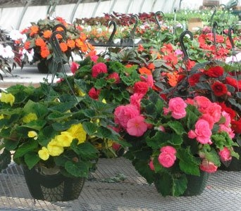 Ornamental Hanging Plants in Gardner MA, Valley Florist, Greenhouse & Gift Shop