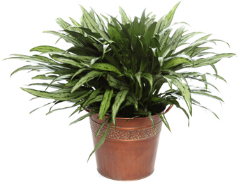 Large Chinese Evergreen in Bronze Planter in McLean VA, MyFlorist