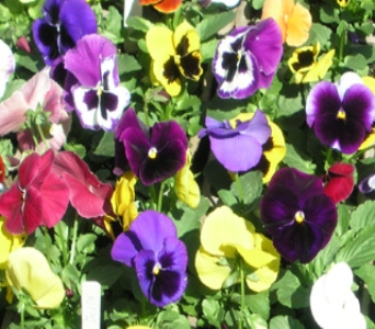 Pansies in Gardner MA, Valley Florist, Greenhouse & Gift Shop