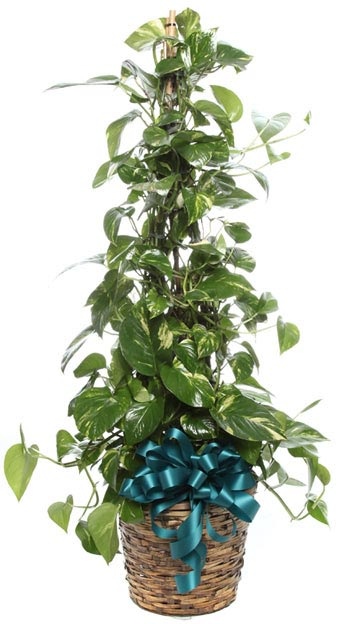 Large Golden Pothos in Basket in McLean VA, MyFlorist