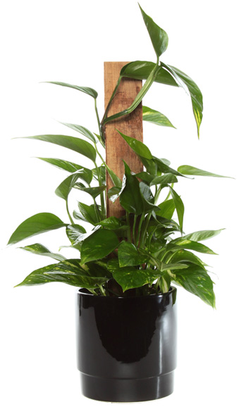 Small Golden Pothos in Black in McLean VA, MyFlorist