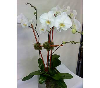 White Phalaenopsis Orchid in New York NY, Fellan Florists Floral Galleria