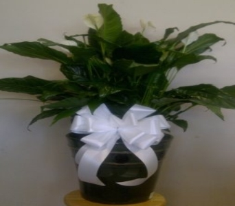 Premium Peace Lily  in Pittsburgh PA, Frankstown Gardens