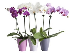 Phalaenopsis Orchid Plant in Fond Du Lac WI, Haentze Floral Co