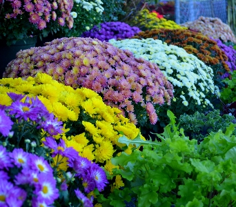 Outdoor Mums in Utica NY, Chester's Flower Shop And Greenhouses